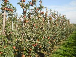 Jablone na podpníkoch